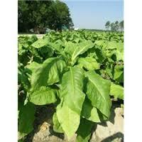 Organic Tobacco Market