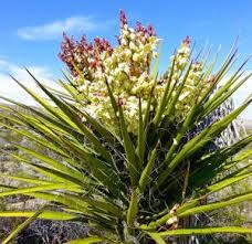Yucca Mohave Extract Market